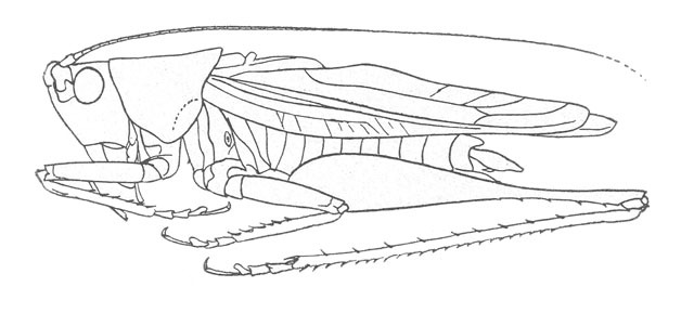 Image of Lesser Pine Katydid