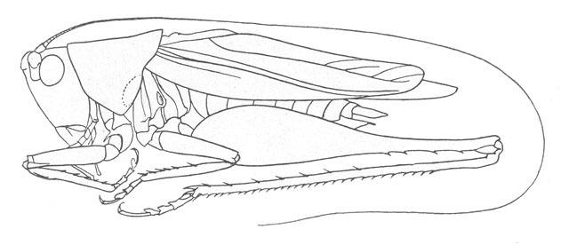 Image of Long-spurred Meadow Katydid
