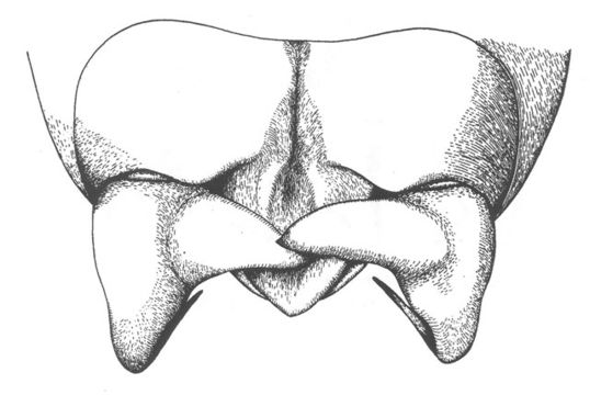 Image of Big-tooth Anabrus
