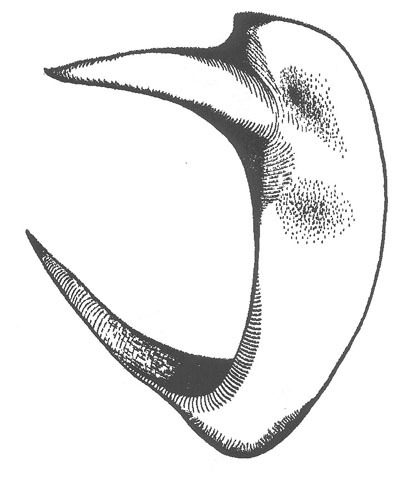Image of Big-tooth Anabrus