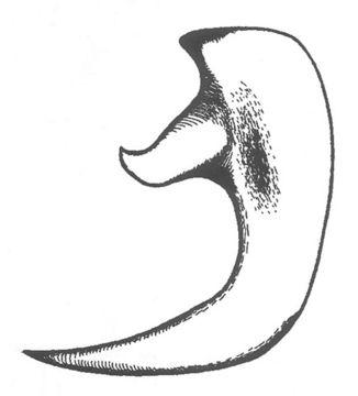Image of Long-legged Anabrus
