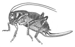 Image of Coulee Cricket