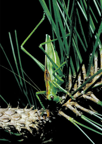 Image of Pine Katydid