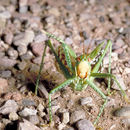 Image of Greater Arid-land Katydid