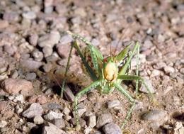 Image of Greater Arid-land Katydid