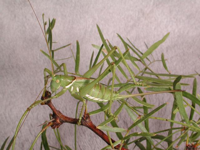 Image of Lesser Arid-land Katydid