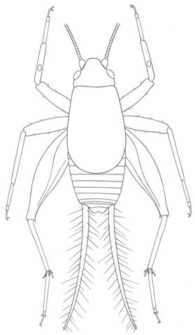 Image of Saussure's Scaly Cricket