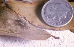 Image of Keys Scaly Cricket