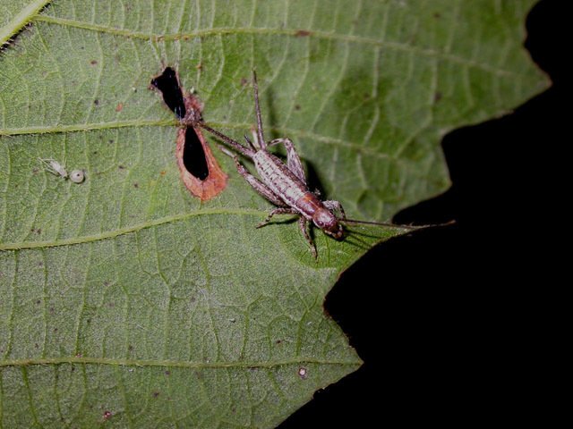 Image of Forest Scaly Cricket