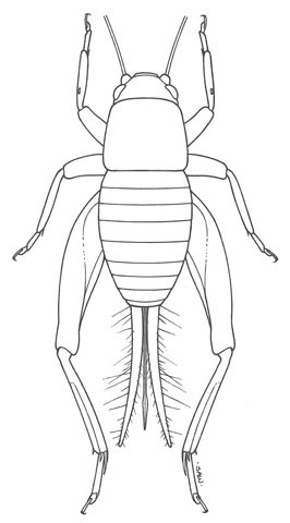Image of Two-toothed Scaly Cricket