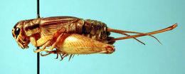 Image of Japanese Burrowing Cricket