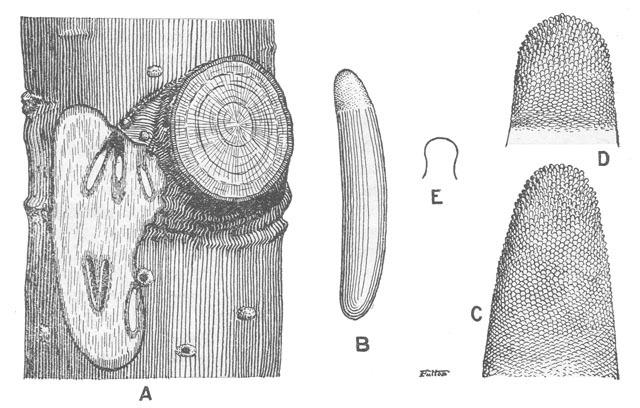 Image of Narrow-winged Tree Cricket