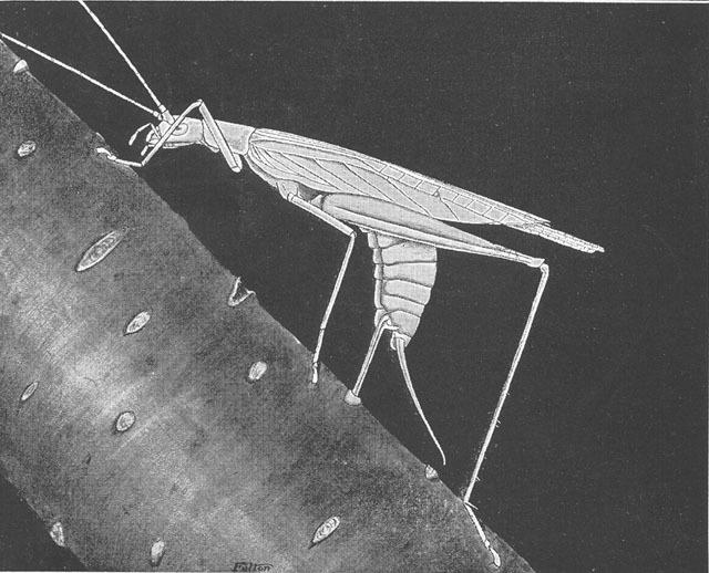 Image of Snowy Tree Cricket