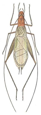 Image of Pine Tree Cricket