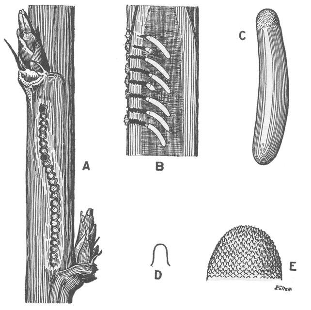 Image of Black-horned Tree Cricket