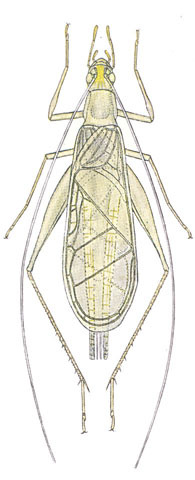 Image of Davis's Tree Cricket