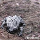 Image of Roraima Black Frog