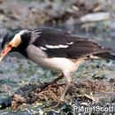 Image of Asian Pied Starling