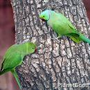 Image of Rose-ringed Parakeet