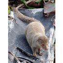 Image of Indian mongoose