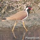 Image of Red-wattled lapwing