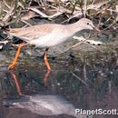 Image of Common redshank
