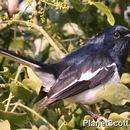 Image of Oriental Magpie-Robin