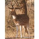 Image of chital