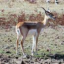 Image of Indian gazelle