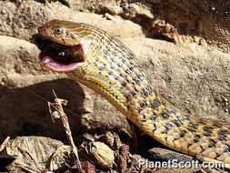 Image of Checkered Keelback Snake