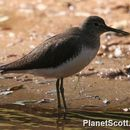 Image of Green sandpiper