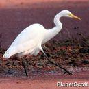 Image of Intermediate Egret