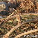 Image of Tawny Pipit