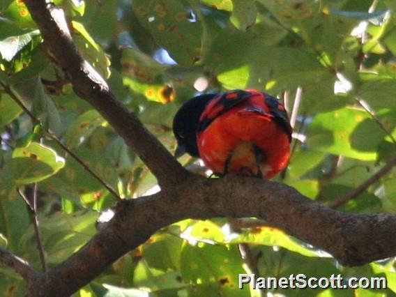 Image of Scarlet Minivet