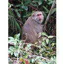 Image of Taiwan macaque