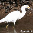 Image of Snowy egret