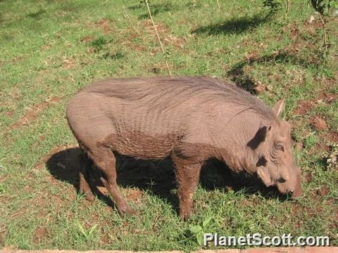 Image of bushpig