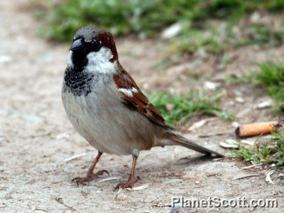 Image of House Sparrow