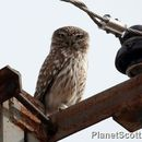 Image of Little owl