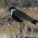 Image of Spur-winged Lapwing