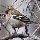 Image of Chaffinch