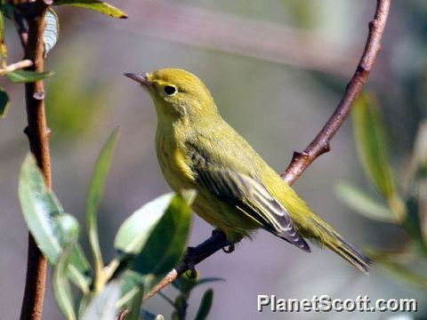 Image of Yellow Warbler
