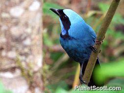 Image of Turquoise Jay