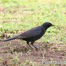 Image of Shiny Cowbird
