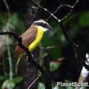 Image of Great kiskadee