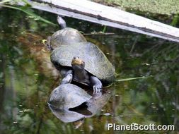 Image of Giant South American Turtle