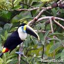 Image of White-Throated Toucan