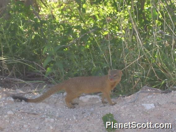 Image of Slender Mongoose
