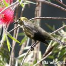Image of Palm Tanager