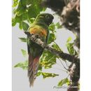 Image of Golden-plumed Parakeet